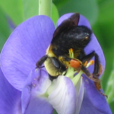 American Bumble Bee (Bombus pennsylvanicus) in my garden