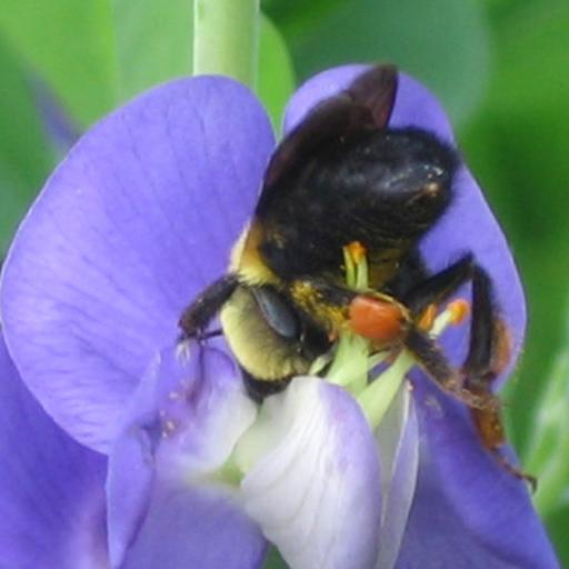 American Bumble Bee (Bombus pennsylvanicus) in my garden