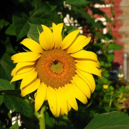 native sunflower in my garden
