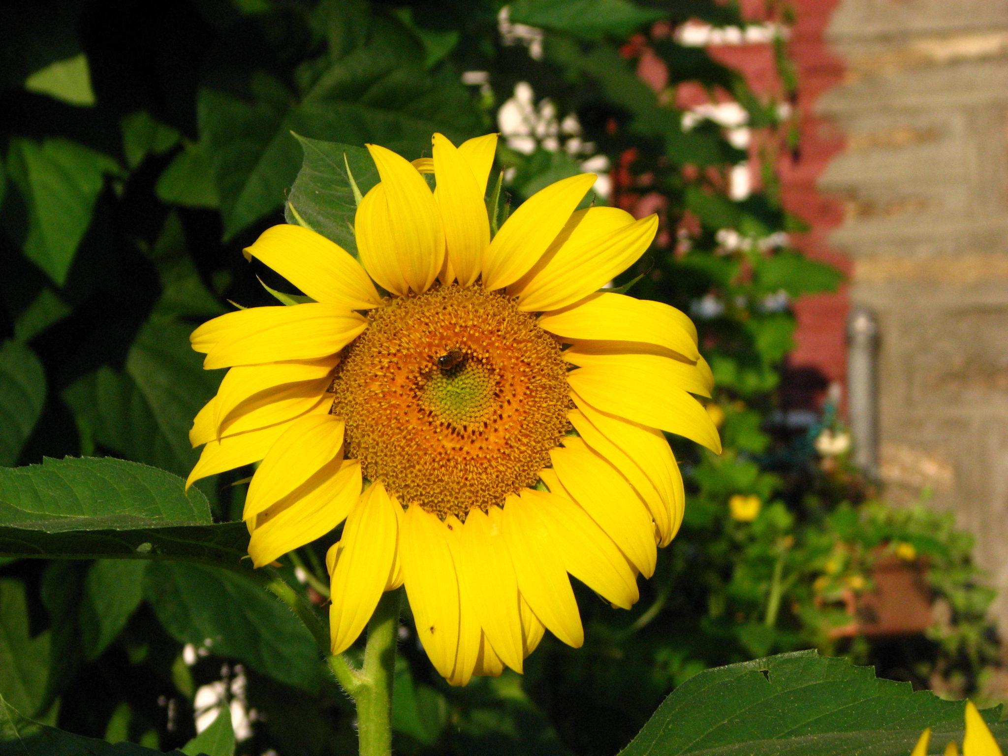 native sunflower in my garden