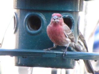 A male House Finch eats form the bird feeder in my backyard.