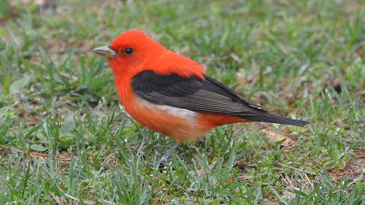 Scarlet Tanager bird, male. Photo by Andy Reago & Chrissy McClarren (Wikimedia Commons, 3 May 2015)