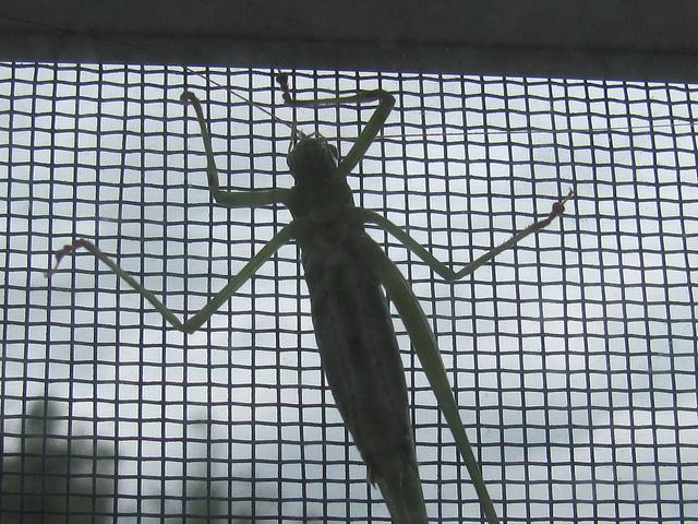 Fork-tailed Katydid (Scuddera furcata) stuck on my bedroom window screen. Photo by Donna Long.