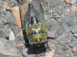 Dog-Day Cicada (Tibien canicularis). This annual cicada lives in cities, suburbs and woodlands and forests. The adults don't feed. Males attract females with a loud buzzing on late spring and summer days. Photo by Donna L. Long