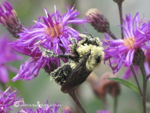 Pollen-laden Bumble Bee