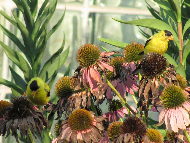 American Goldfinch (Carduelis tristis) eating the seeds of the native Purple Coneflower. Photo by Donna L. Long.