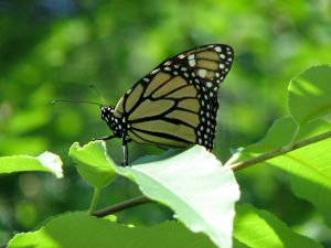 Monarch Butterfly (Danaus plexippus) Milkweed (Nymphalids Butterfly family. Photo by Donna L. Long.