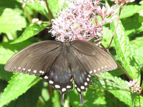 Spicebush Swallowtail (Papilio troilus). Swallowtail Family (Papilionidae). Photo by Donna L. Long.