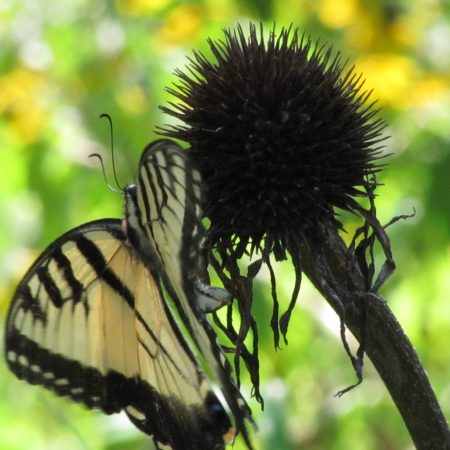 Eastern Tiger Swallowtail (Papilio glaucus). Swallowtail butterfly family. Photo by Donna L. Long.