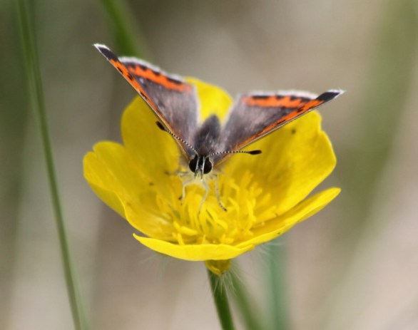 American Copper (Lycaena phlaeas) butterfly. Lycaenidae Butterfly Family). By U.S. Fish and Wildlife Service Headquarters, via Wikimedia Commons