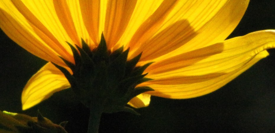 A sunflower (Helianthus spp.) in my garden illuminated by the sun. Photo by Donna L. Long.