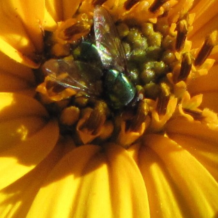 A little green fly pokes around a young sunflower (Helianthus spp.) blossom in early autumn in my garden. Photo by Donna L. Long.