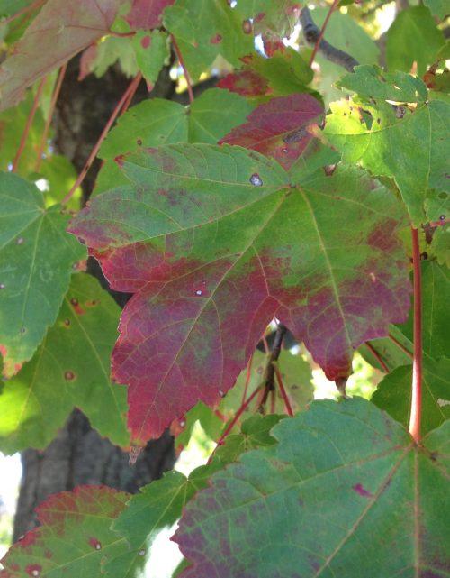 changing leaf color in maple leaf