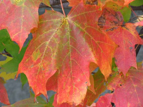 Sugar Maple leaf shutting down chlorophyll and filling cells with anthocyanin. Photo by Donna L. Long.