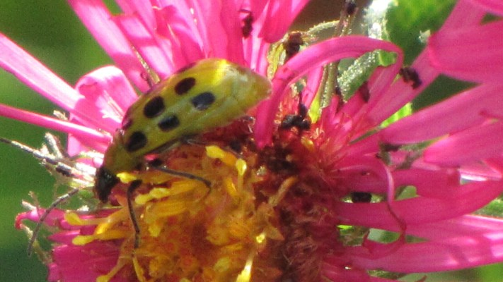 Cucumber Beetle (Diabrotica undecimpunctata) on New England Asters (Symphyotricum novae-angliae) in my garden.