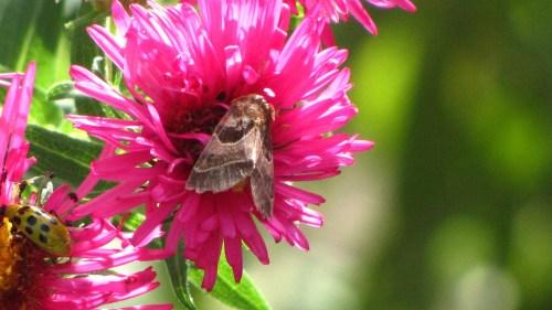 Arciegara Flower Moth (Schinana aragera) on the New England Asters in my garden.