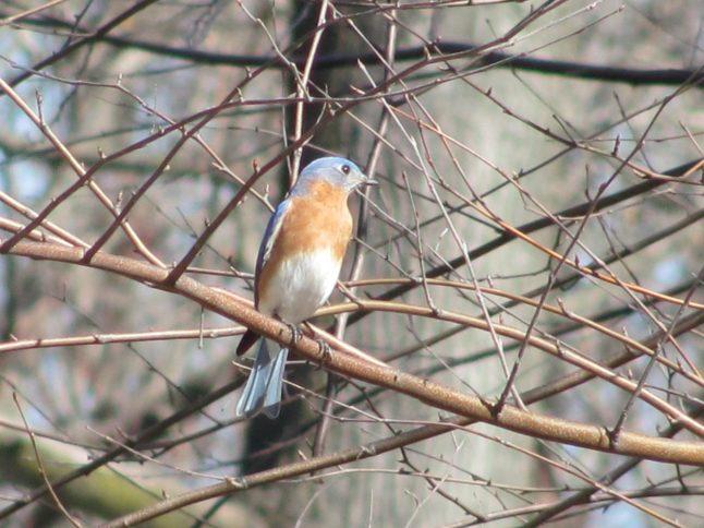 Bluebird in birch tree at Schuylkill Center for Environmental Ed. in March 2016.