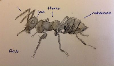 Drawing of an ant.