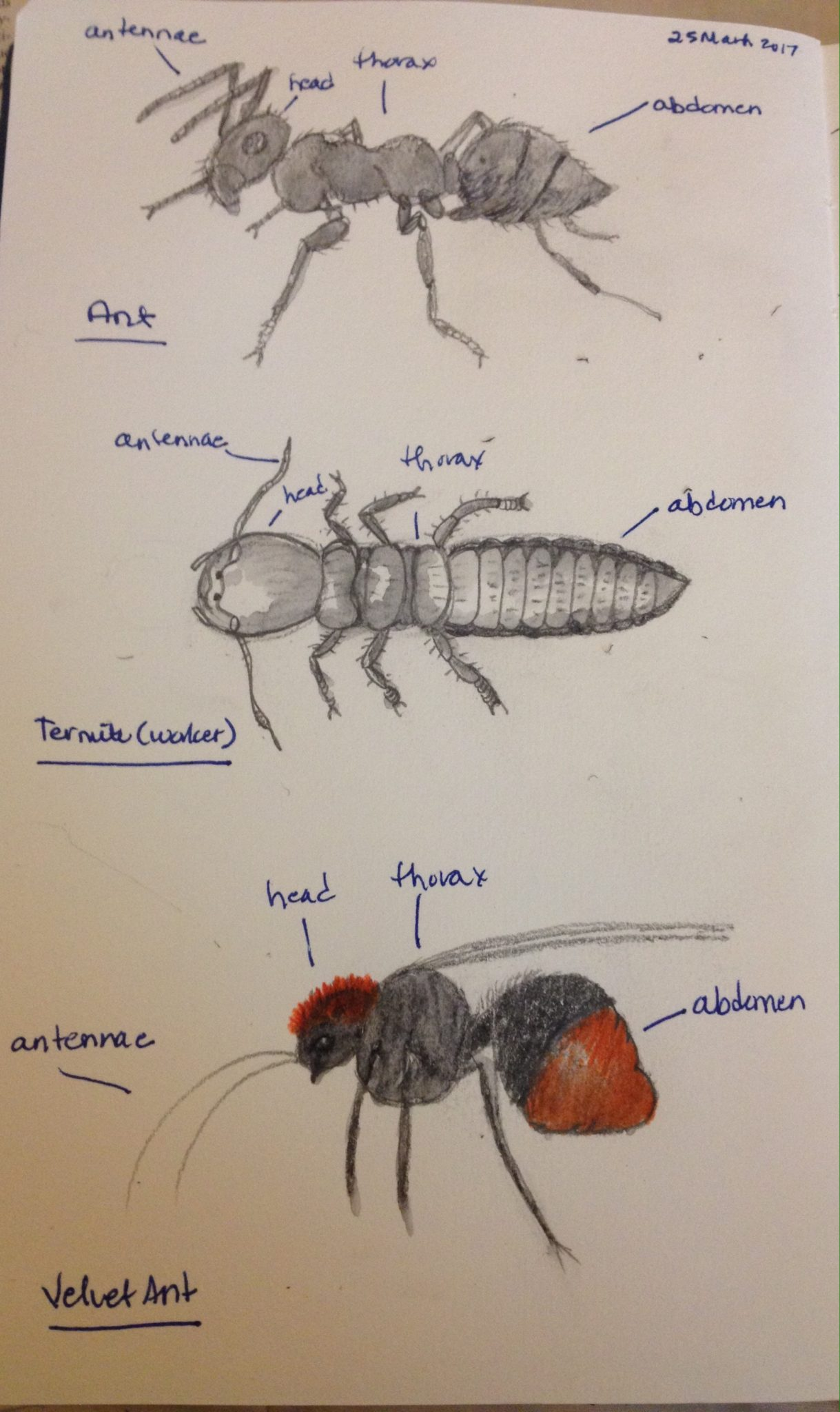 Insects Head, Thorax, and Abdomen – drawing to learn  Donna