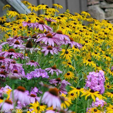 Rudbeckia and Coneflower, informal cottage garden style