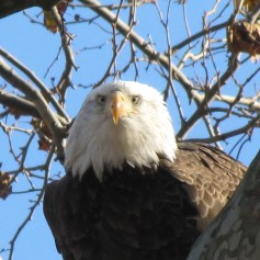 an bald eagle above my head
