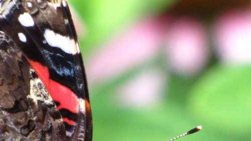 Red Admiral Butterfly (Vanessa atalanta) -closeup of wing - Photo by Donna L. Long.