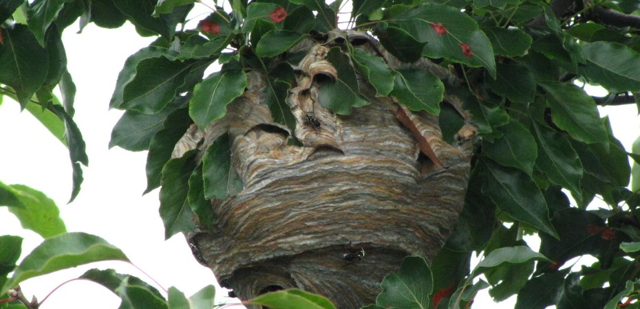 Yellowjackets nest in the tree in front of my house.