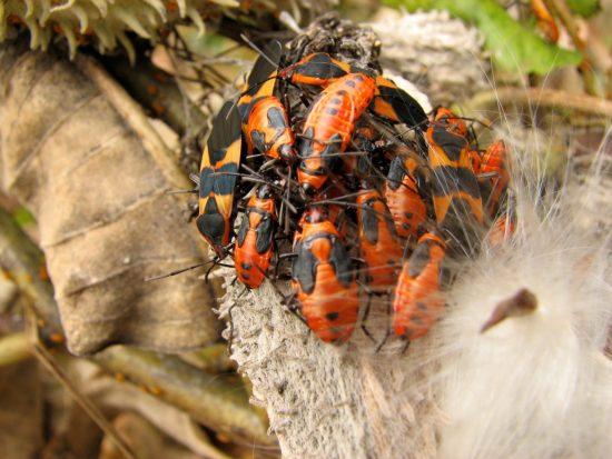 milkweed bugs and beetles in autumn