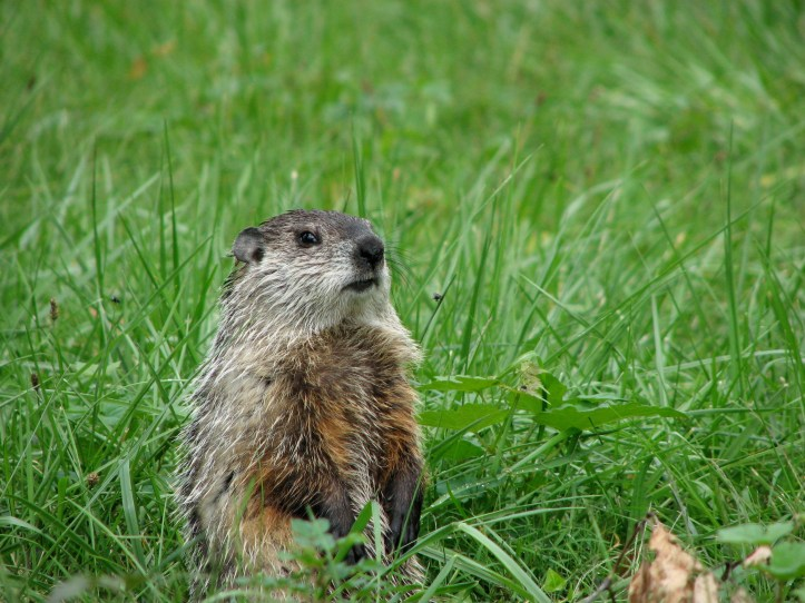Groundhog or Woodchuck (Marmotoa monax). Photo by Donna L. Long.
