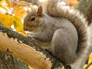 Gray Squirrel (Sciurus carolinensis) eating maple seeds.