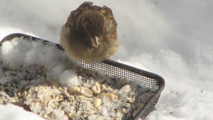 A female House Sparrow at one of my winter feeders in Philadelphia.