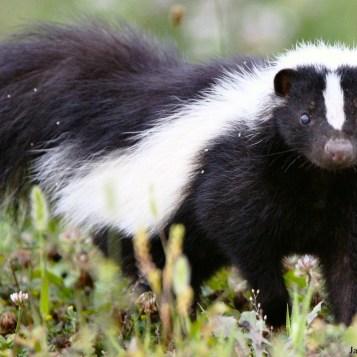 mammals_skunk