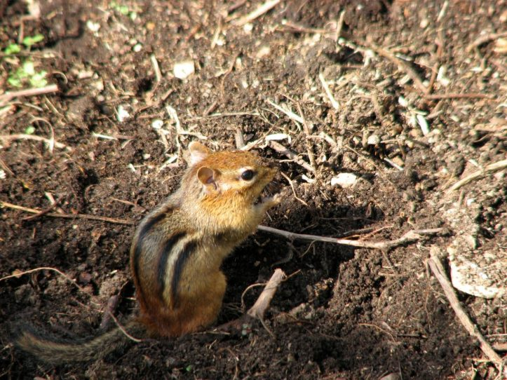 A chipmunk chewing something. Photo by Donna L. Long.