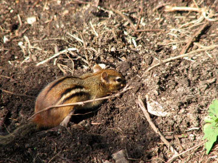 A chipmunk digging in the soil. Photo by Donna L. Long.