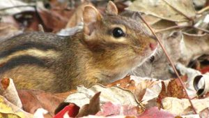 A chipmunk among leaves. Photo by Donna L. Long.