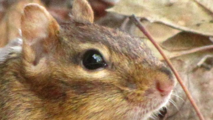 A close up of a chipmunk's face. Photo by Donna L. Long