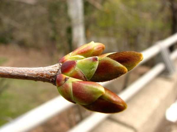 Colorful tree buds opening in early spring. Photo by Donna L. Long.
