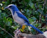 Florida Scrub Jay (Aphelocoma coerulescens). Photo: Mwanner/wikimedia commons.