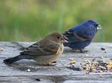 Blue Grosbeak, blue male and brown female. Photo: By DickDaniels (http://carolinabirds.org/-wikimedia