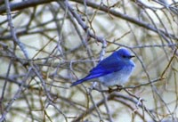 Mountain Bluebird (Sialia currucoides) perched on a bare winter tree branch.