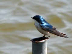 Tree-Swallow (Tachycineta bicolor). Photo by Donna L. Long.