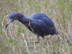 Little Blue Heron (Egretta caerulea). Photo: fws.gov