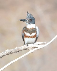 Belted Kingfisher (Ceryle alcyon). Photo in public domain.
