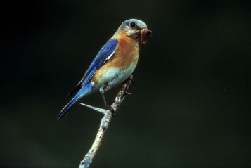 Eastern Bluebird (Sialia sialis). Photo: public domain, fws.gov.