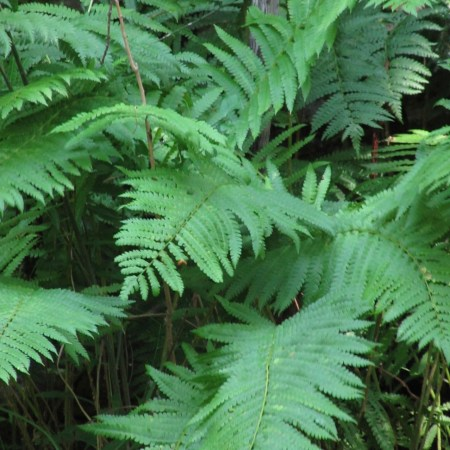 Sensitive Fern in the Smoky Mountains