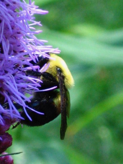 Bee visiting Northern Blazing Star