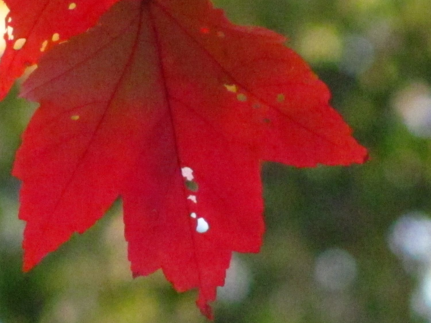 Red MapleTree (Acer rubrum) leaf. Photo by Donna L. Long.