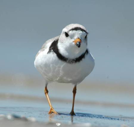 Piping plover (Charadrius melodus) walking on the beach