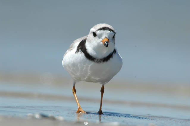 Piping plover (Charadrius melodus) U.S. Fish and Wildlife Service. Public