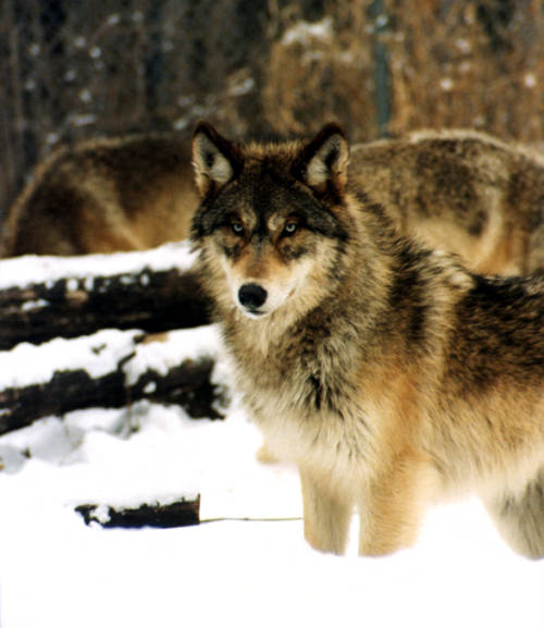 Gray wolf stand in snow. Public domain/USFWS.